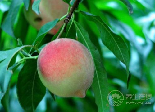 桃子又脆又好吃,但是有3点你一定要知道